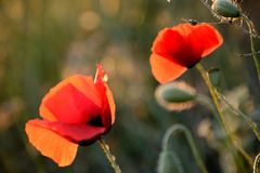Το δίδυμο των παπαρουνών, που λούζεται σε μια πυράκτωση ηλιοβασιλέματος, αναπηδά στην Προβηγκία Στοκ Εικόνες
