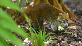 Το δείγμα Coati προσπαθεί και ρουθουνίζει στο έδαφος σε αναζήτηση των τροφίμων φιλμ μικρού μήκους