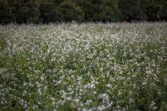 12, το Δεκέμβριο του 2016 - το λουλούδι άσπρης μουστάρδας σε Dong Βιετνάμ Dalat- Lam Στοκ φωτογραφίες με δικαίωμα ελεύθερης χρήσης
