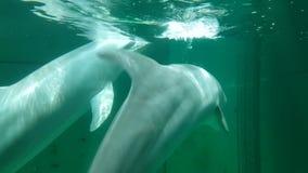 Το δελφίνι κολυμπά στο dolphinarium φιλμ μικρού μήκους