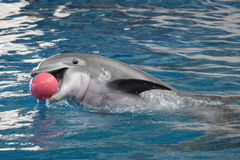 Το δελφίνι παρουσιάζει στη Βαλτιμόρη, Μέρυλαντ Στοκ Εικόνες