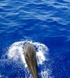 το δελφίνι πηδά έξω το ύδωρ Στοκ Εικόνες
