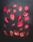 Το δημιουργικό σχεδιάγραμμα των κόκκινων φύλλων φθινοπώρου στο σκοτεινό υπόβαθρο, τοπ άποψη, επίπεδη βάζει Εποχιακή πτώση Στοκ Εικόνα