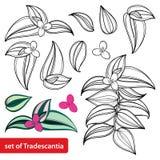 Το διάνυσμα έθεσε με το φυτό λουλουδιών ή ίντσας zebrina Tradescantia περιλήψεων ή το λουλούδι περιπλάνησης Εβραίος, τη δέσμη και ελεύθερη απεικόνιση δικαιώματος