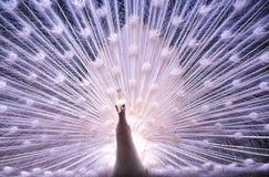 το διαδίδοντας λευκό ουρών peacock του στοκ φωτογραφίες