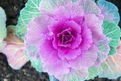 Το διακοσμητικό λάχανο με τη βιολέτα αφήνει τη τοπ άποψη Άνθισμα φυτών του Kale υπαίθριο Διακοσμητική συγκομιδή κήπων Άνθιση λάχα στοκ φωτογραφία με δικαίωμα ελεύθερης χρήσης
