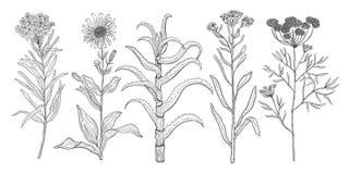 Το διανυσματικό υπόβαθρο έθεσε με το σχεδιασμό των άγριων εγκαταστάσεων, των χορταριών και των λουλουδιών, μονοχρωματική βοτανική διανυσματική απεικόνιση