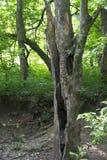 Το διασπασμένο και κοίλο δέντρο παραμένει στοκ φωτογραφία με δικαίωμα ελεύθερης χρήσης