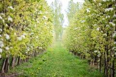 Το δικαίωμα οπωρώνων πριν από την άνθιση, αναπηδά το πράσινο υπόβαθρο φύσης δέντρων Στοκ φωτογραφίες με δικαίωμα ελεύθερης χρήσης