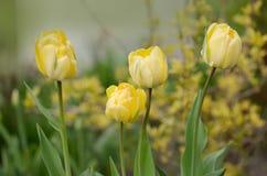 Το διπλάσιο πλαισίωσε την κίτρινη ομορφιά τουλιπών του Άπελντορν στοκ φωτογραφίες με δικαίωμα ελεύθερης χρήσης