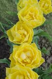 Το διπλάσιο πλαισίωσε την κίτρινη τουλίπα στοκ φωτογραφία με δικαίωμα ελεύθερης χρήσης