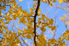 Το δονούμενο ιαπωνικό φθινόπωρο Ginkgo αφήνει το τοπίο με το θολωμένο υπόβαθρο Στοκ εικόνες με δικαίωμα ελεύθερης χρήσης