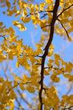 Το δονούμενο ιαπωνικό φθινόπωρο Ginkgo αφήνει το τοπίο με το θολωμένο υπόβαθρο Στοκ Φωτογραφίες