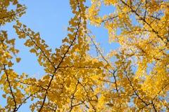 Το δονούμενο ιαπωνικό φθινόπωρο Ginkgo αφήνει το τοπίο με το θολωμένο υπόβαθρο Στοκ εικόνα με δικαίωμα ελεύθερης χρήσης