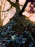 Το δρύινο δέντρο στοκ φωτογραφίες