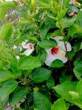 Το εθνικό λουλούδι της Μαλαισίας στοκ φωτογραφία με δικαίωμα ελεύθερης χρήσης