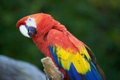 Το λειμώνιο chloropterus Ara macaw Στοκ εικόνα με δικαίωμα ελεύθερης χρήσης