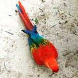 Το λειμώνιο macaw Στοκ Φωτογραφίες