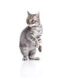 Το εκφοβισμένο βρετανικό γατάκι θέτει του μπόξερ Στοκ Εικόνα
