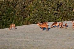 Το ελάφι άγριας φύσης υπερασπίζει και συνεχίζει το κοπάδι του ελαφοδέρματος κατά τη διάρκεια της αποτελμάτωσης στο λιβάδι στοκ φωτογραφίες