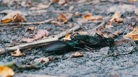 Το ελάφι κανθάρων αρσενικών ελαφιών ωθεί έναν συντριμμένο νεκρό κάνθαρο κατά μήκος του εδάφους απόθεμα βίντεο
