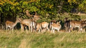 Το ελάφι Buck αγραναπαύσεων με - dama Dama, Warwickshire, Αγγλία Στοκ Εικόνες