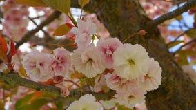 Το ελκυστικό και φωτεινό διπλό στρώμα κερασιών ανθίσματος Prunus Kanzan ιαπωνικό ανθίζει στο κλίμα μπλε ουρανού Άνθος Sakura στοκ εικόνες