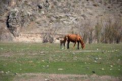 Το ενήλικο άλογο με foal βόσκει στο πόδι του βουνού Altai, Σιβηρία, Ρωσία _ στοκ εικόνες με δικαίωμα ελεύθερης χρήσης