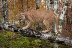 Το ενήλικο αρσενικό concolor Cougar Puma λάμπει κάτω Στοκ Εικόνα