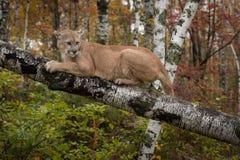 Το ενήλικο αρσενικό concolor Cougar Puma ξανακοιτάζει γρατσουνώντας στο BR Στοκ Εικόνα