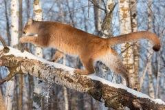 Το ενήλικο θηλυκό concolor Cougar Puma περπατά επάνω τη σημύδα Στοκ φωτογραφίες με δικαίωμα ελεύθερης χρήσης
