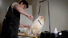 Το ενήλικο θηλυκό groomer τελειώνει spitz απόθεμα βίντεο