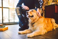 Το ενήλικο σκυλί χρυσό retriever, abrador βρίσκεται δίπλα στα πόδια ιδιοκτητών ` s ενός αρσενικού κτηνοτρόφου Στο εσωτερικό του σ στοκ εικόνες