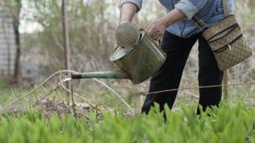 Το ενήλικο χύνοντας νερό γυναικών από το πότισμα μπορεί στον κήπο Κηπουρική και δενδροκηποκομία απόθεμα βίντεο