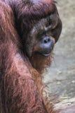 Το ενήλικο αρσενικό Orangutan στην άγρια φύση Νησί που αντέχεται Στοκ Φωτογραφίες