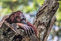 Το ενήλικο αρσενικό Orangutan στην άγρια φύση Νησί που αντέχεται Στοκ Εικόνα
