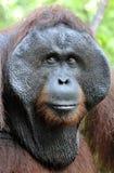 Το ενήλικο αρσενικό Orangutan στο θάμνο Ενήλικο αρσενικό orangutan στην άγρια φύση Στοκ φωτογραφία με δικαίωμα ελεύθερης χρήσης