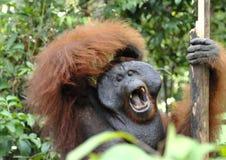 Το ενήλικο αρσενικό Orangutan στο θάμνο Ενήλικο αρσενικό orangutan στην άγρια φύση Στοκ Φωτογραφία