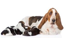 Το ενήλικο σκυλί κυνηγόσκυλων μπασέ ταΐζει τα κουτάβια Στο λευκό Στοκ Εικόνες
