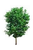 Το ενιαίο δέντρο απομονώνει Στοκ Εικόνα