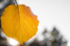 Το ενιαίο κίτρινο πορτοκαλί φύλλο βερίκοκων φθινοπώρου πλαισίωσε αριστερά, θολωμένο στο bokeh κλίμα, την υγιή οργανική τροφή που  στοκ εικόνες