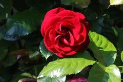 Το ενιαίο κόκκινο κεφάλι λουλουδιών αυξήθηκε σε έναν κήπο Στοκ Εικόνα
