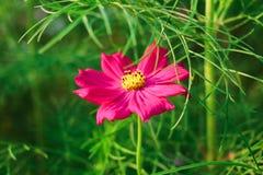 Το ενιαίο κόκκινο λουλούδι στο πράσινο υπόβαθρο πράσινο βγάζει φύλλα στοκ φωτογραφίες