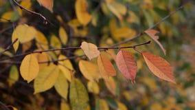 Το ενιαίο φθινόπωρο αφήνει τις ταλαντεύσεις στον κλάδο από τον αέρα απόθεμα βίντεο