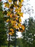 Το ενιαίο φύλλο σφενδάμου που στέκεται στον κλάδο στοκ εικόνα με δικαίωμα ελεύθερης χρήσης