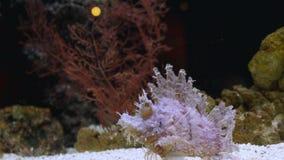 Το εξωτικό όμορφο lionfish κολυμπά στο μπλε νερό σκηνή υποβρύχια στοκ φωτογραφία με δικαίωμα ελεύθερης χρήσης