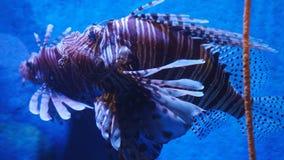 Το εξωτικό όμορφο lionfish κολυμπά στο μπλε νερό σκηνή υποβρύχια στοκ εικόνες με δικαίωμα ελεύθερης χρήσης