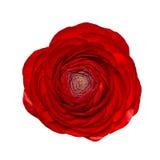 Το επικεφαλής κόκκινο βατράχιο λουλουδιών απομόνωσε το άσπρο υπόβαθρο Στοκ Εικόνες