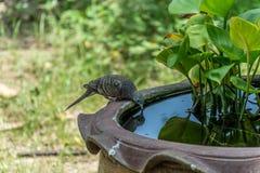 Το επισημαίνω-necked περιστέρι πίνει το νερό Στοκ Εικόνες