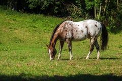 Το επισημασμένο άλογο appaloosa στο λευκό και καφετής βόσκει στο πράσινο π Στοκ Εικόνες